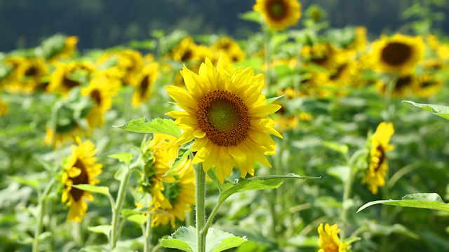 佐用町南光「ひまわりの花」