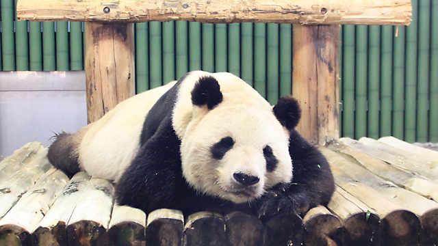 王子動物園のパンダ「タンタン」