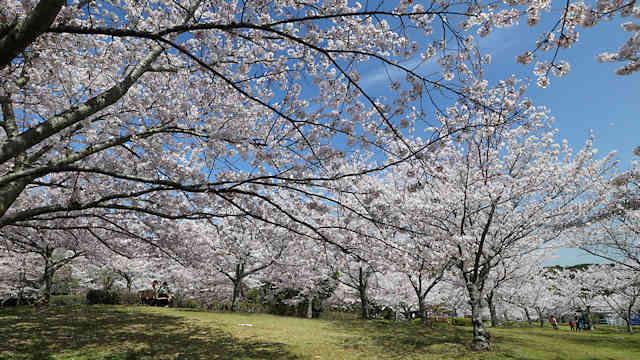 淡路島公園・ニジゲンノモリの桜