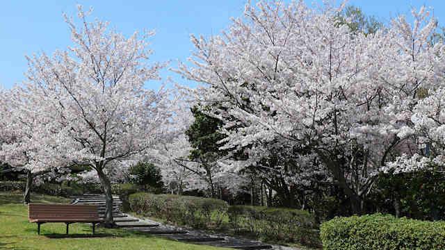 淡路島公園の桜
