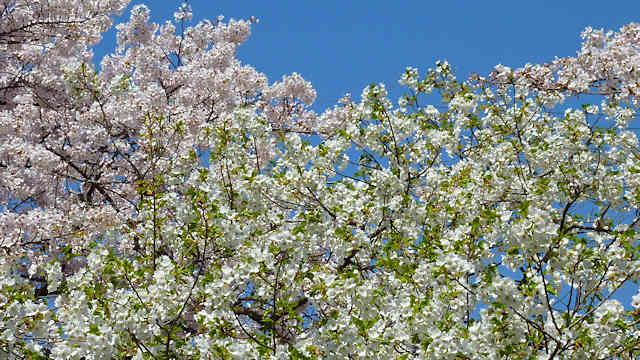 王子公園・青谷川公園の桜