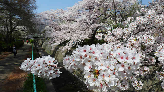 王子公園・青谷川公園の桜並木