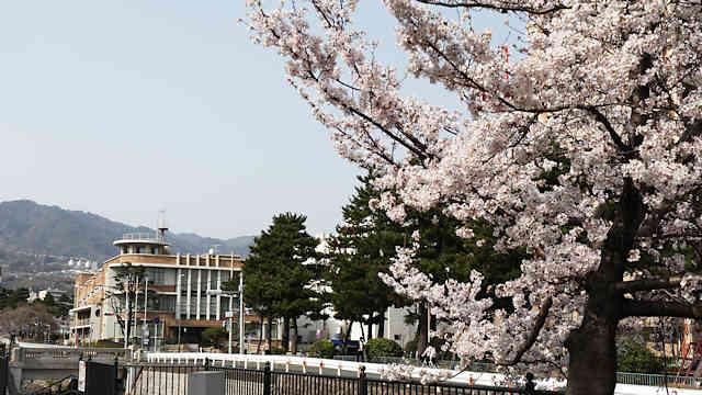 御影公会堂と桜