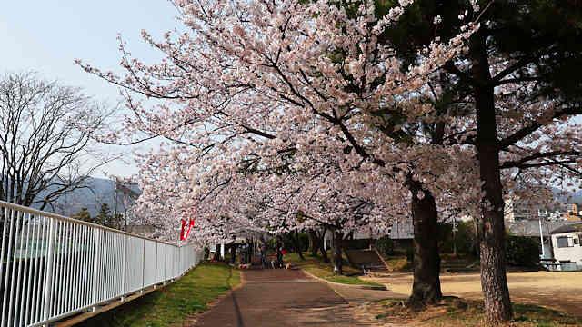 石屋川公園の桜並木