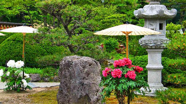 永沢寺「ぼたん園」開園 現在の見頃は