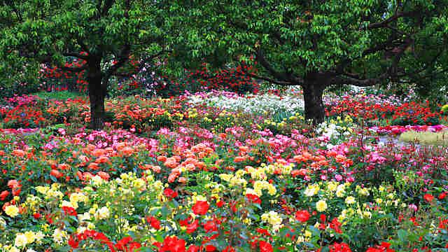 播磨中央公園 四季の庭ばら園
