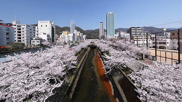 神戸市 生田川さくらまつり