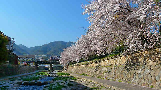 都賀川の桜並木