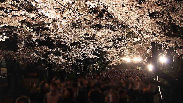 神戸市 王子動物園夜桜通り抜け