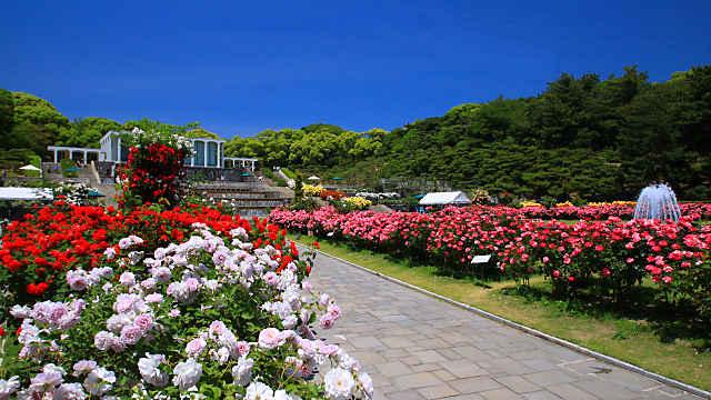 須磨離宮公園 バラ