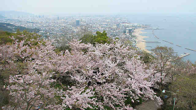 須磨浦山上遊園の桜