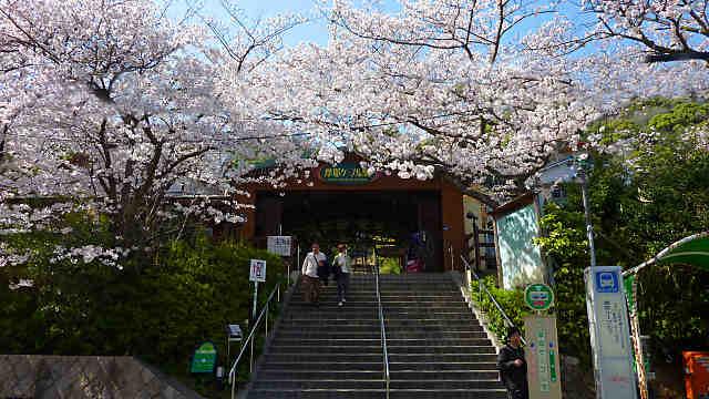 摩耶ケーブル駅の桜
