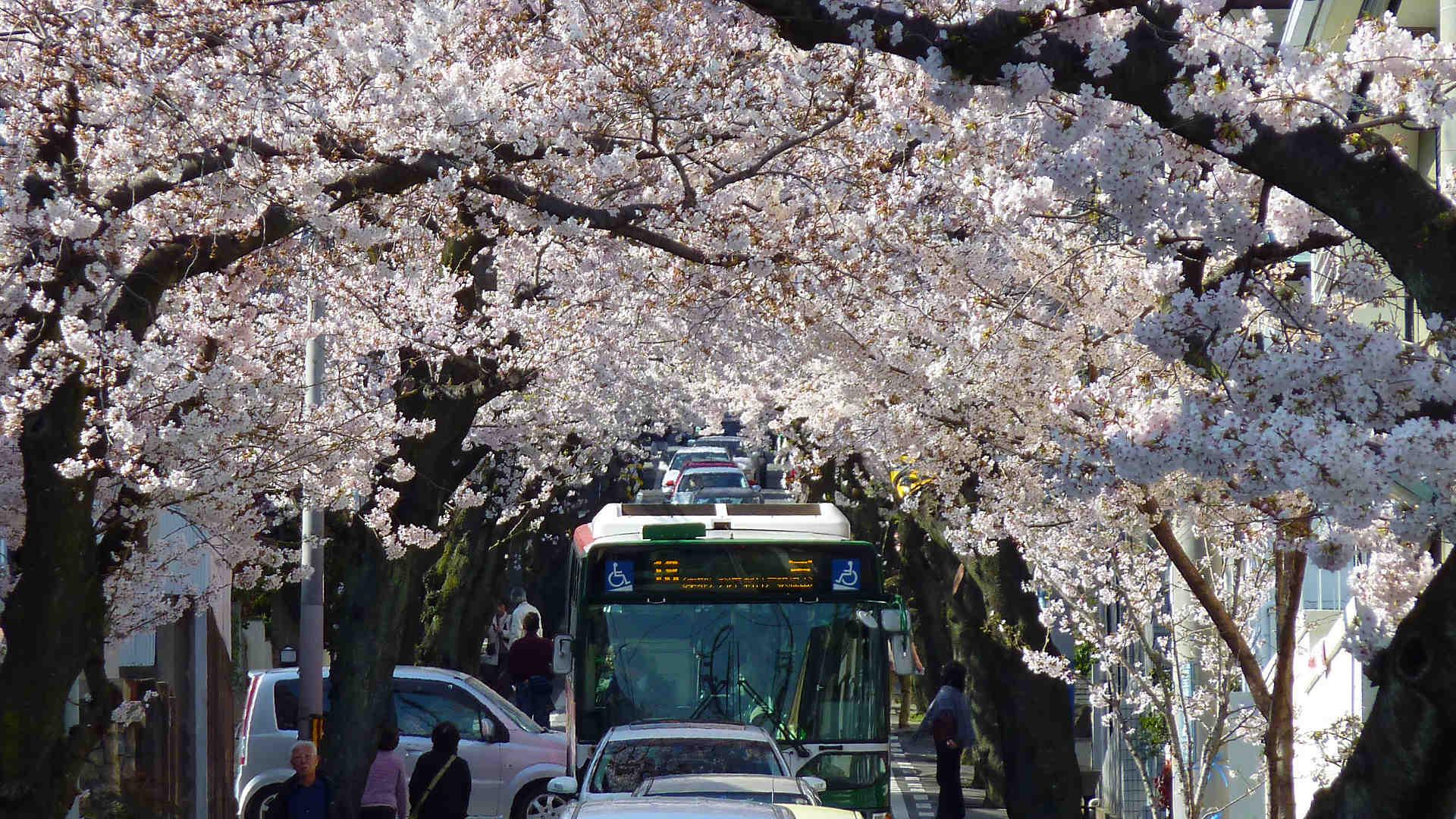 神戸高尾通の桜トンネル・桜坂