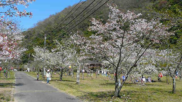 千苅水源池の桜