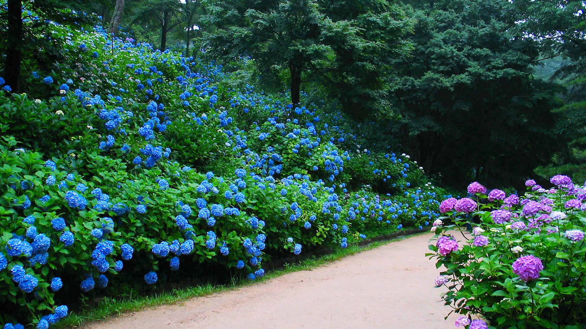 森林植物園のあじさい 森の中のあじさい散策