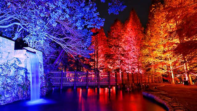 滝とメタセコイアの紅葉ライトアップ