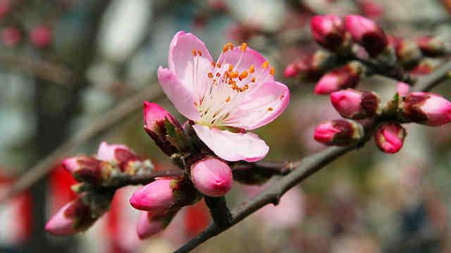 東洋ナッツ食品のアーモンドの花