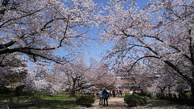 越水浄水場桜の通り抜け