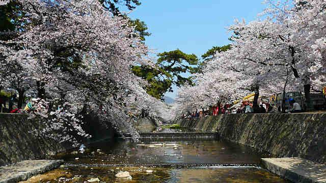 西宮さくら祭 夙川の桜