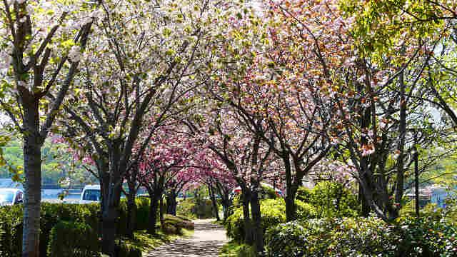 やなせ苑桜づつみ 八重桜
