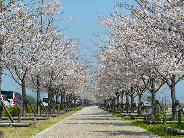 おの桜づつみ回廊の桜並木