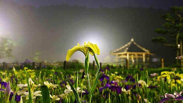 永沢寺花しょうぶ園 ライトアップ