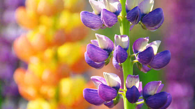 味わいの里三日月 ルピナスの花