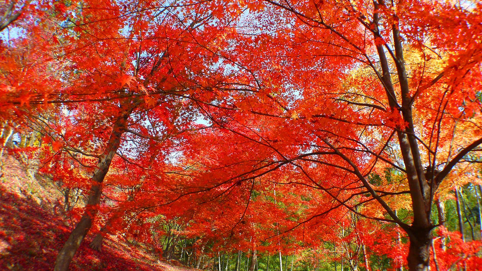 最上山もみじ祭り 最上山公園もみじ山の紅葉
