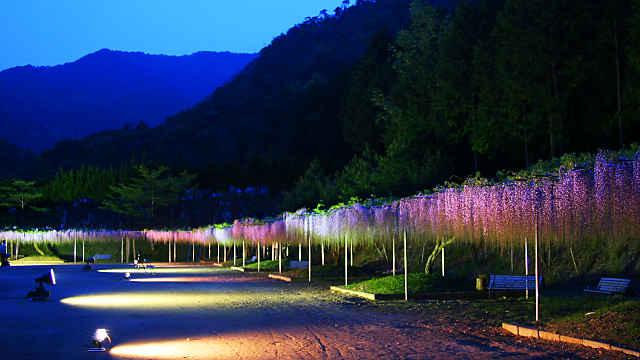 白毫寺の九尺藤のライトアップ