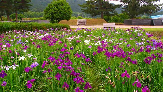 三ッ塚史跡公園 花菖蒲園