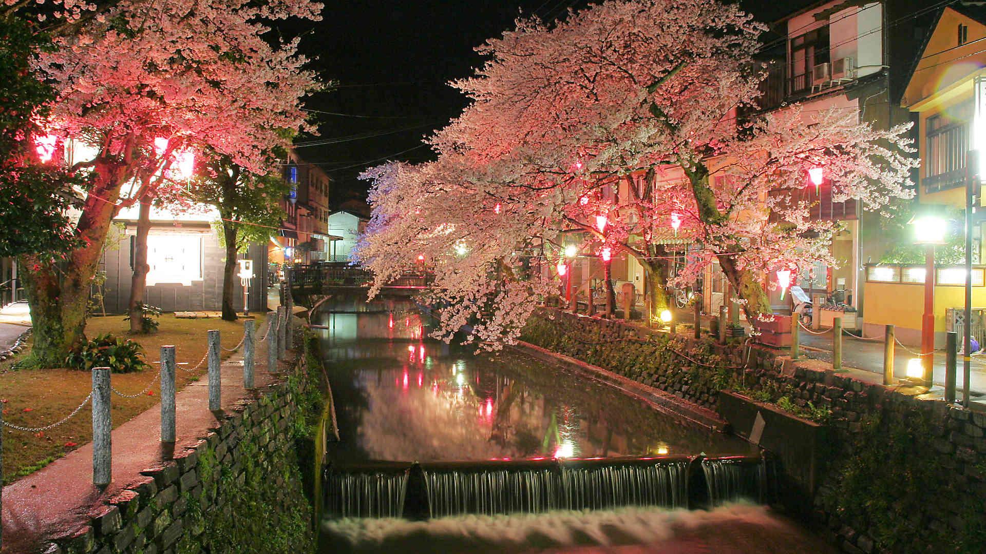 城崎温泉夜桜月間18 城崎温泉桜のライトアップ