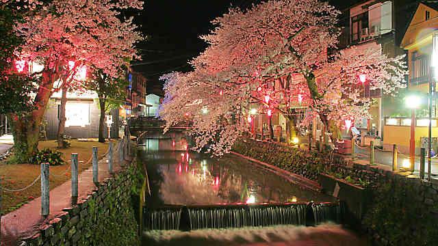 城崎温泉 桜のライトアップ